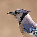 Blue Jay posing Print by David Cutts