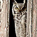 Great Horned Owl perched in barn window Poster by Mark Duffy