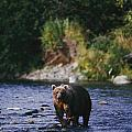 A Kodiak Brown Bear Ursus Middendorfii Poster by George F. Mobley