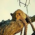 A Leopard Lounges In A Tree, Its Paws Poster by Beverly Joubert