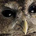 A Threatened Northern Spotted Owl Poster by Joel Sartore