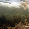 Algae In A Frozen Pond Print by Ted Kinsman