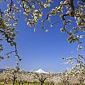 Apple Blossom Trees In Hood River Print by Craig Tuttle