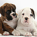 Boxer Puppies Print by Mark Taylor