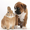 Boxer Puppy And Netherland-cross Rabbit Print by Mark Taylor