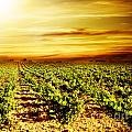Bright sunset at vineyard Print by Anna Omelchenko