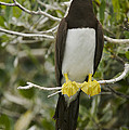 Brown Booby, Sula Leucogaster Poster by Tim Laman