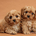 Cavapoo Pups Print by Mark Taylor