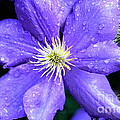 Climbing Clematis Print by Julie Palencia