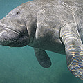 Close View Of A Manatee Print by Nick Norman