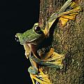 Close View Of A Wallaces Flying Frog Print by Tim Laman