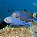 Elongate Surgeonfish Poster by Georgette Douwma