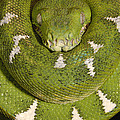 Emerald Tree Boa Corallus Caninus Poster by Pete Oxford