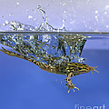 Frog Jumps Into Water Poster by Ted Kinsman