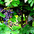 Grapes on the Vine Poster by Carol Groenen