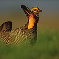 Greater Prairie Chicken Male Poster by Tim Fitzharris