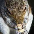 Grey Squirrel Poster by Georgette Douwma