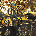 Jackdaw On Church Gates Print by Christopher and Amanda Elwell