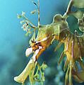 Leafy Sea Dragon Print by Peter Scoones
