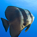 Longfin Spadefish, Papua New Guinea Poster by Steve Jones