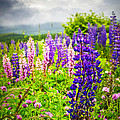 Lupins in Newfoundland meadow Print by Elena Elisseeva
