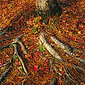Oak Tree Roots And Pine Needles Poster by Raymond Gehman