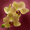 Orchid Print by Sandy Keeton