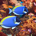 Powder-blue Surgeonfish Poster by Georgette Douwma