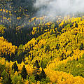 Quaking Aspen And Ponderosa Pine Trees Poster by Ralph Lee Hopkins