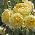 Rose (rosa 'charlotte Auspoly') Poster by Dr Keith Wheeler