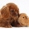 Ruby Cavalier King Charles Spaniel Pup Print by Mark Taylor
