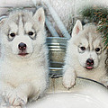 Siberian Husky Puppies Poster by Jean Gugliuzza