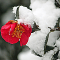 Snow Bloom Print by Suzanne Gaff