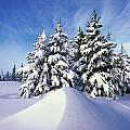 Snow-covered Pine Trees Print by Natural Selection Craig Tuttle