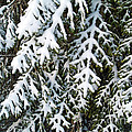 Snowy fir tree Poster by Sami Sarkis