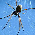 Spider Poster by Joyce Woodhouse