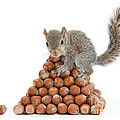 Squirrel And Nut Pyramid Print by Mark Taylor