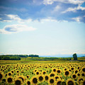 Sunflowers Poster by Kirstin Mckee