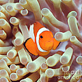 Tropical fish Clownfish Print by MotHaiBaPhoto Prints