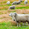 Sheeps Poster by MotHaiBaPhoto Prints