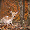 1111-7638 Fawn in Fall Poster by Randy Forrester