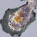 Bacteria Infecting A Macrophage, Sem Print by