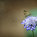 1205-8785 Skipper on a Butterfly Blue Pincushion Flower Print by Randy Forrester