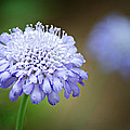 1205-8794 Butterfly Blue Pincushion Flower Print by Randy Forrester
