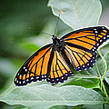 1205-8934 Monarch in Spring Poster by Randy Forrester