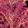 Blood Vessels, Sem Print by Susumu Nishinaga