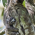 Brown-throated Three-toed Sloth Poster by Suzi Eszterhas