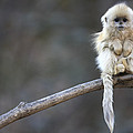 Golden Snub-nosed Monkey Rhinopithecus Poster by Cyril Ruoso