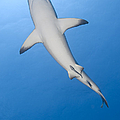 Gray Reef Shark With Remora, Papua New Poster by Steve Jones