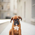 2 Month Old Boxer Puppy Standing In Alley Poster by Diyosa Carter